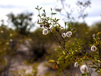 Creosote Bush, Saguaro National Park _D3X9330